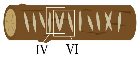 切り込みの形からローマ数字が生まれた